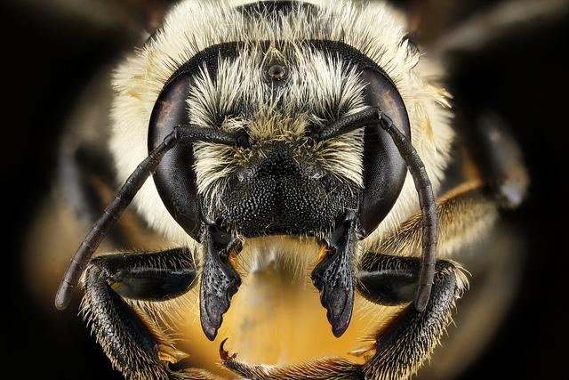 Megachile latimanus, face – Dylan Walsh