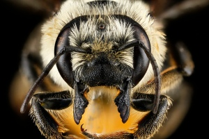 Close-up. (USGS Native Bee Inventory and Monitoring Laboratory)